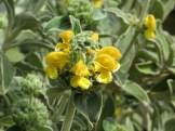 エルサレムセージ 花のアップ