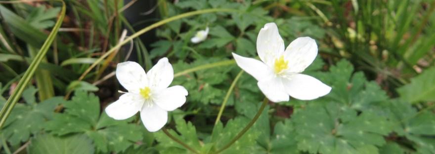 Wind flower/ ニリンソウ