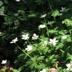 ニリンソウ 花の群落