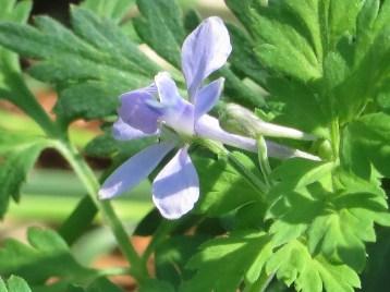 セリバヒエンソウ 花のアップ 横向き