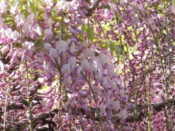 フジ ピンク系の花