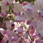 フジ ピンク系の花 アップ