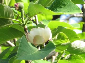 Magnolia×watsonii/ ウケザキオオヤマレンゲ