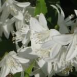 ヒメウツギ 花のアップ