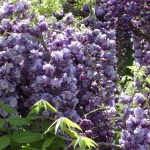 フジ 八重咲きの藤