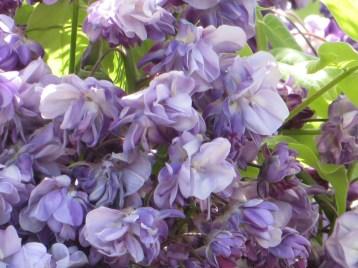 フジ 八重咲きの藤 アップ