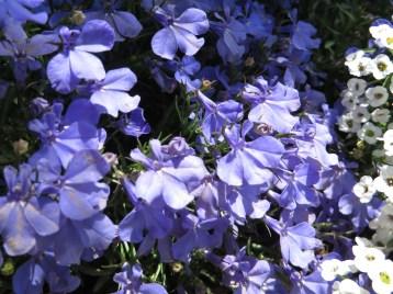 ヒエンソウ 花のアップ