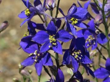 オオヒエンソウ ミストラル系 花のアップ