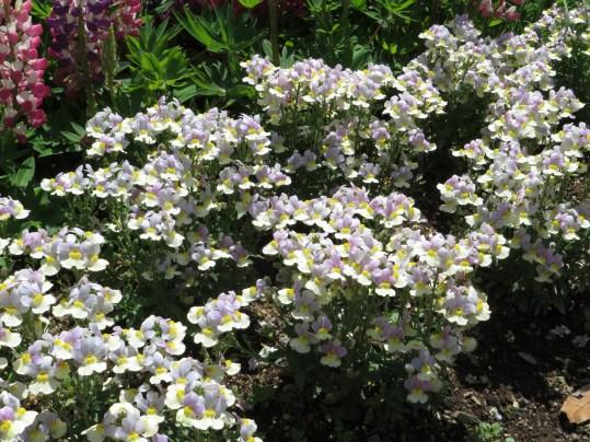 シュッコンネメシア 花の姿
