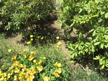 イエローサルタン 花の咲いている様子
