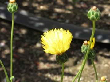 イエローサルタン 花のアップ