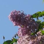 ライラック 花の様子