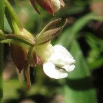 エビネラン 花のアップ