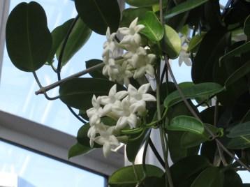 マダガスカルジャスミン 花の様子