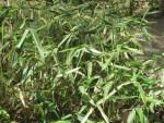 Japanese bamboo Suekozasa/ スエコザサ
