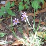 ニワゼキショウ 花の姿