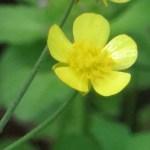 キンポウゲ 花のアップ