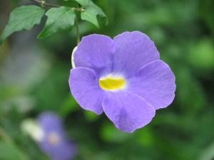コダチヤハズカズラ 花のアップ