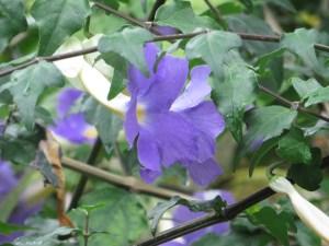 コダチヤハズカズラ 花の姿