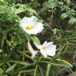 コダチヤハズカズラ  白花 花の姿
