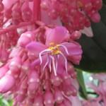 オオバノヤドリノボタン 花のアップ