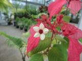 ヒゴロモコンロンカ 花のアップ