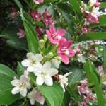 ハコネウツギ 雨にぬれる花