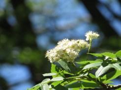ナナカマド 花のアップ