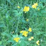 クサノオウ 花の咲いている様子
