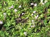 ムラサキサギゴケ 花が咲いている様子