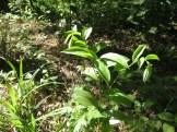 チゴユリ 草の様子