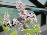 プセウデランテムム・レティクラツム・オウァリフォリウム 花の様子