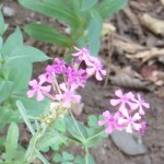 ムシトリナデシコ 花の姿