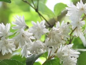 ウツギ(サラサウツギ) 花のアップ