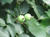 ワリンゴ 幼果のなっている様子 (品種:リンキ)