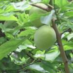 ウメ 青い果実