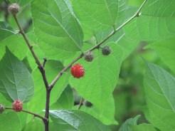 Small paper mulberry/ ヒメコウゾ
