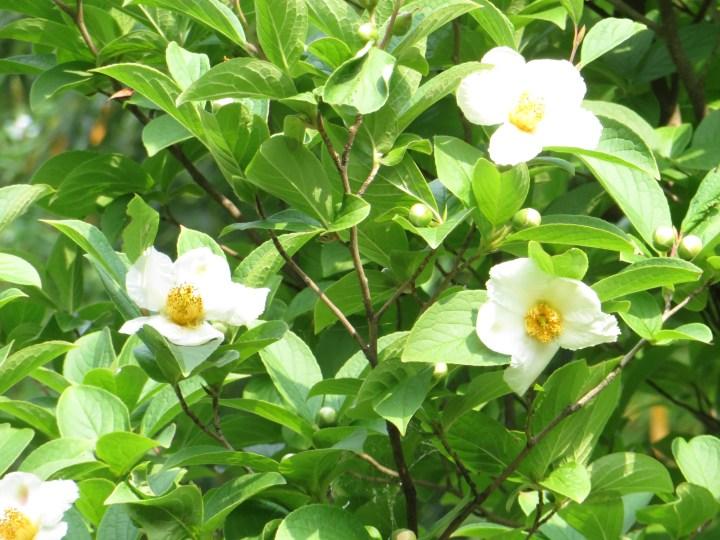 ナツツバキ 花の咲いている様子