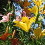 スカシユリ 色とりどりの花