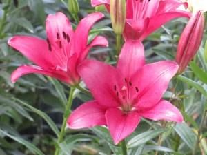 スカシユリ 濃いピンクの花