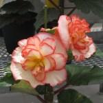 キュウコンベゴニア 白に赤い縁取りの花