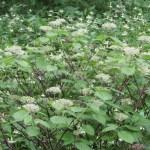 コアジサイ 開花前の植物の様子