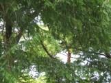 メタセコイア 枝と葉の様子