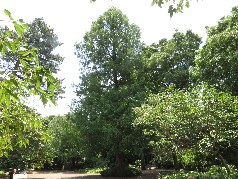 メタセコイア 木全体の姿