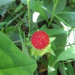 ヘビイチゴ 実のアップ