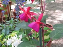 フクシア 赤系の花