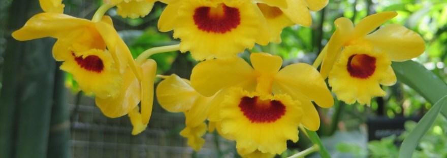 Dendrobium/ デンドロビウム