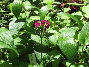 クリンソウ  花の様子