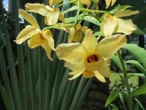 デンドロビウム 黄色の花