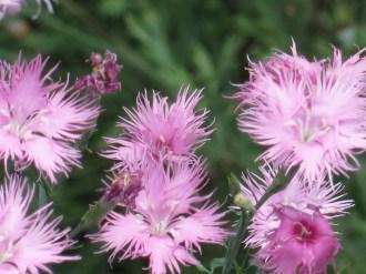 ナデシコ カワラナデシコ花のアップ